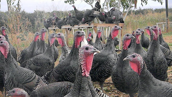 Domestic Turkey Breeds